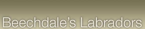 Beechdale's Labradors